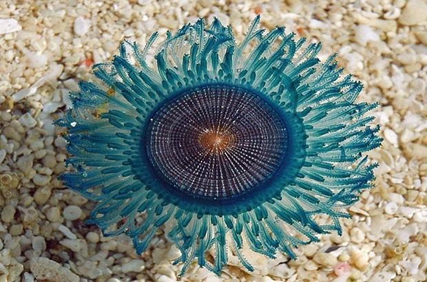 شناسایی ژله ماهی بسیار کمیاب در آب های جزیره زیبای کیش