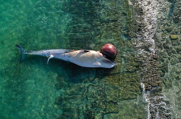 واکنش جدی منطقه آزاد کیش به مرگ مشکوک نهنگها در سواحل جزیره
